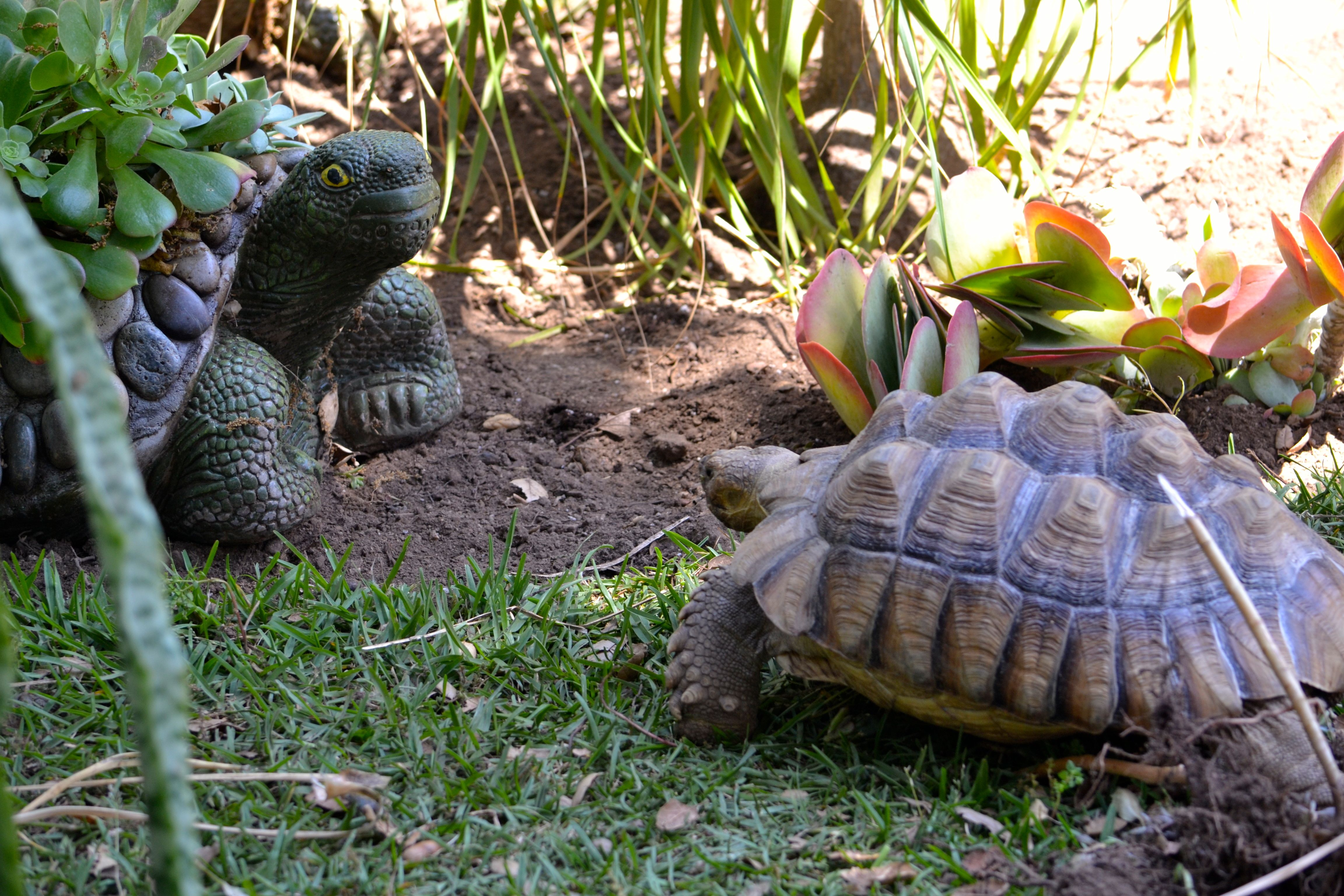 An Average Day In The Life Of A Very Cold African Spurred Tortoise A Darwin Update