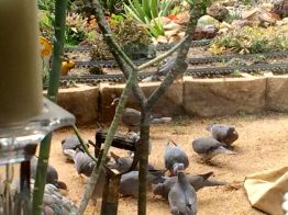 Doves the size of pigeons
