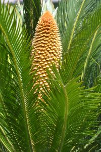 Male sago palm