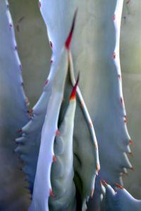 Agave thorns