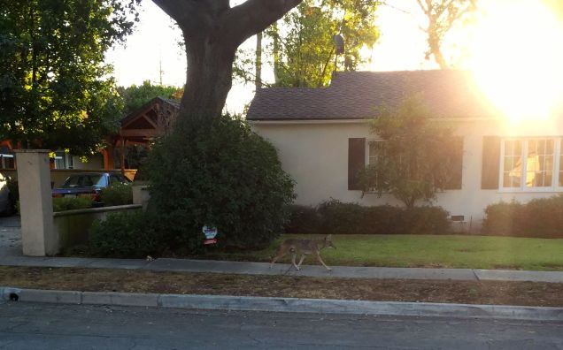 coyote walking up the street
