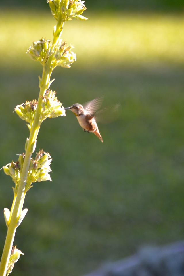 Hummingbird at Aloe spike